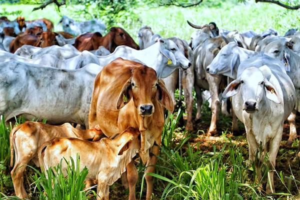 Crecen las exportaciones de Carne Bovina Colombiana
